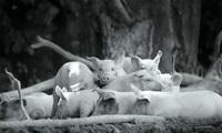 Хоакин Феникс озвучил документалку о жизни домашнего скота